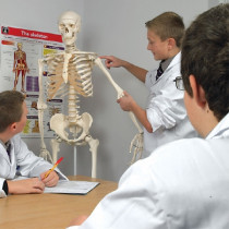 Model - Human skeleton standard