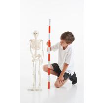 Replica Human Skeleton 85cm